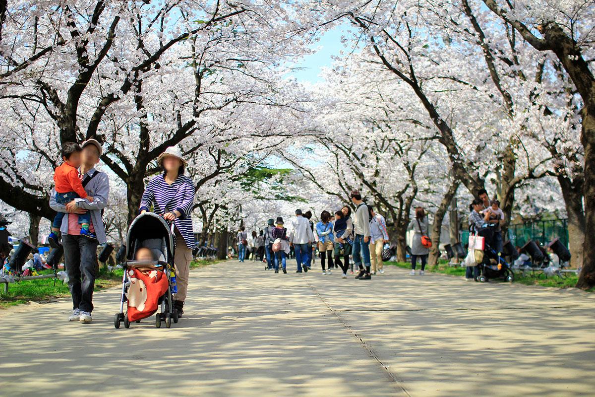 桜の名所として有名な高田公園。